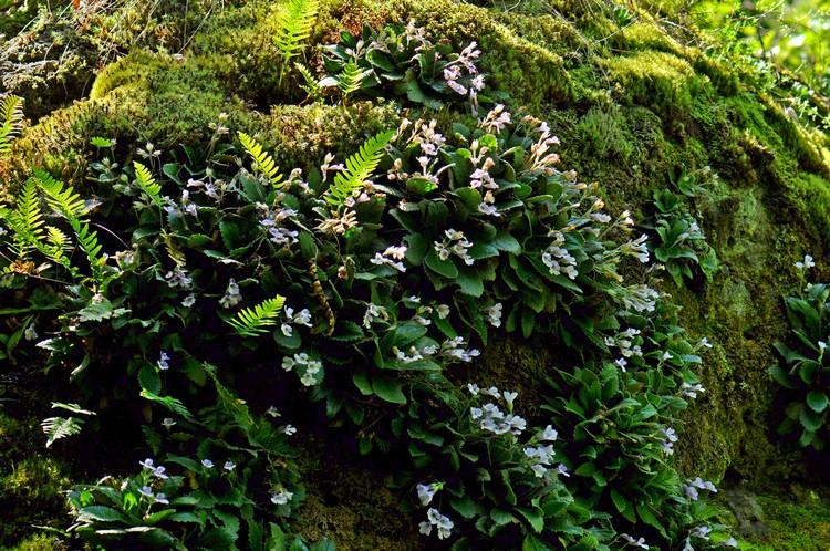 Силивряк - Орфеево цвете