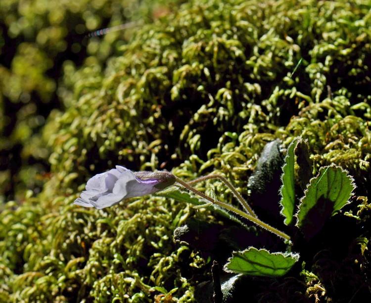 силивряк, Орфеево цвете,