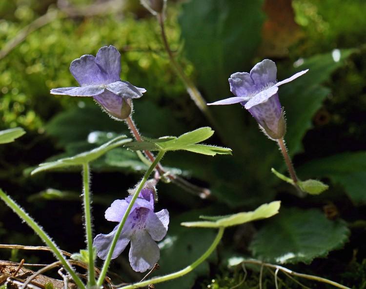 Орфеево цвете - силивряк