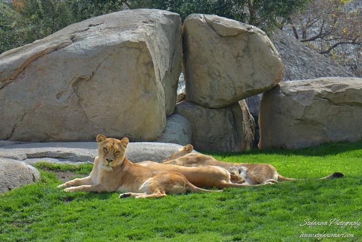 лъвове