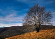 Самотното дърво на Слънчева поляна